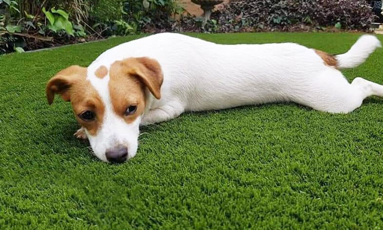 Artificial Grass Dog Resting Easigrass JHB North